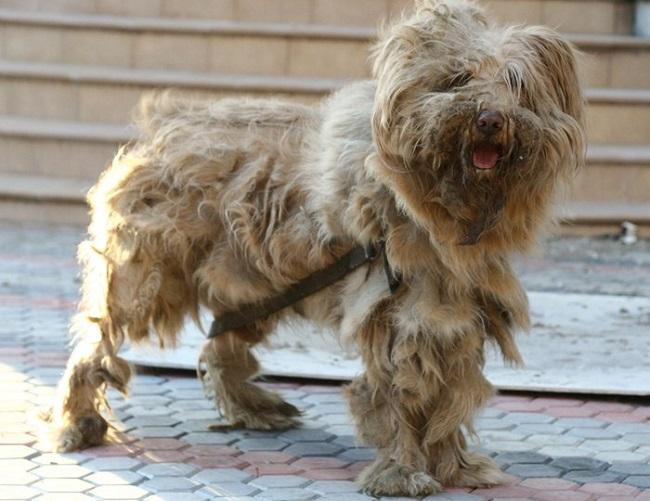 Что такое колтуны у собаки?