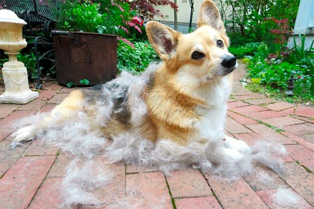 Что такое линька у собак?