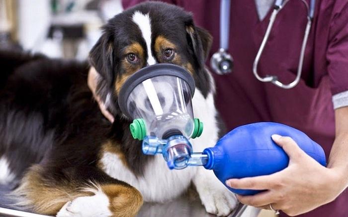 Как лечится астма у собак?