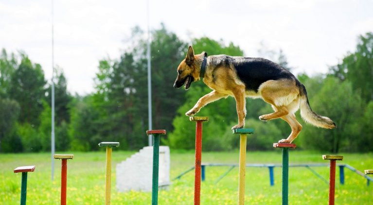 Как правильно выбрать щенка немецкой овчарки, смотря на класс щенка?