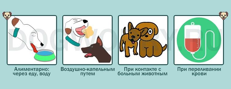 Как собака может заразиться микоплазмами?