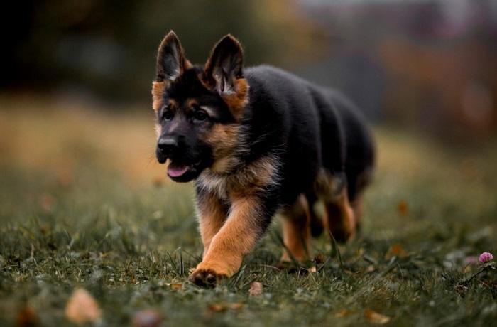 Как выбрать щенка немецкой овчарки по характеру?