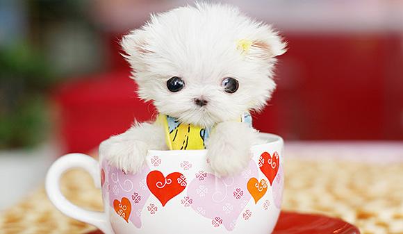 Клички для собак маленьких пород: для девочек