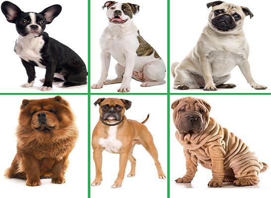 Породы собак, которые относятся к брахицефалам