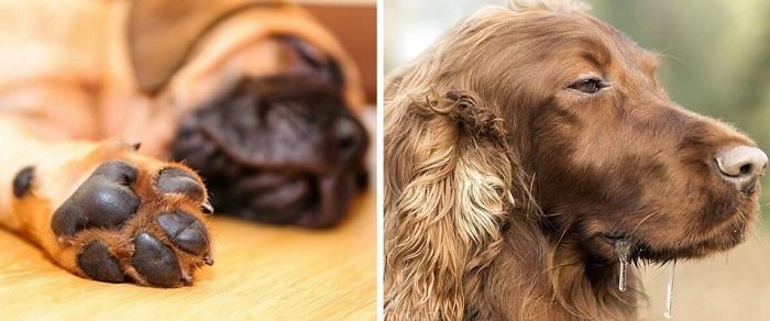 Как потеют собаки, какие органы в этом участвуют?
