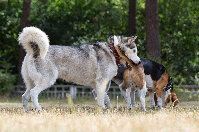 Травмы, как причина залома хвоста у собаки