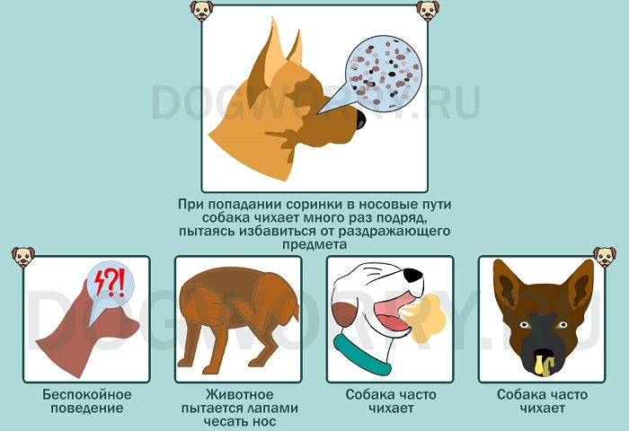 Инородный предмет в носоглотке как причина того, почему собака часто чихает