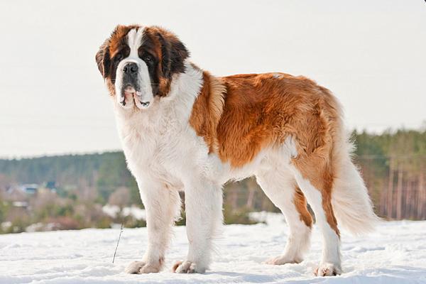 Как правильно выбрать кличку для большой собаки?