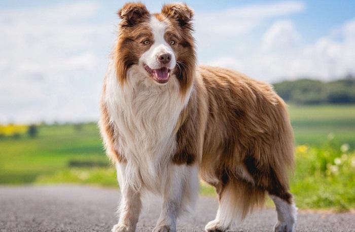 Клички для больших собак пастушьих пород девочек