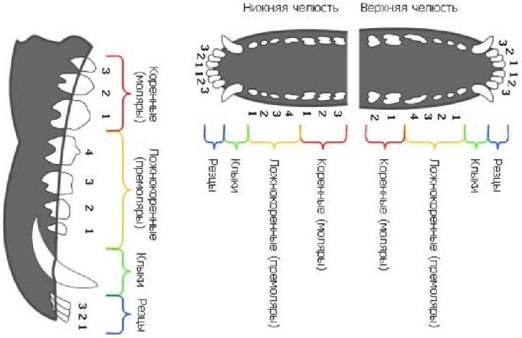 Как меняются молочные зубы у щенков?