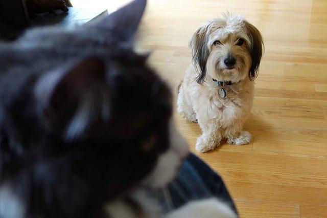 Правда ли, что собаки не любят кошек из-за ревности к хозяину?