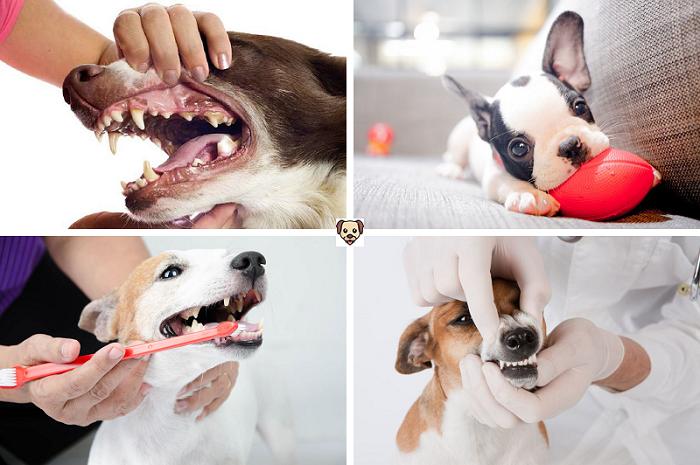 Профилактика заболеваний ротовой полости, когда у щенков меняются молочные зубы