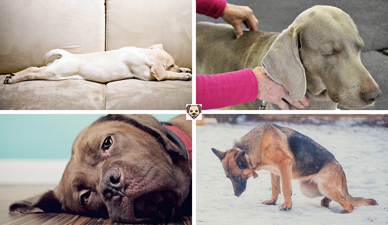 Симптомы того, что у собаки отказывают задние лапы