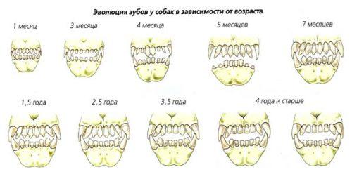 Сколько зубов у собаки?