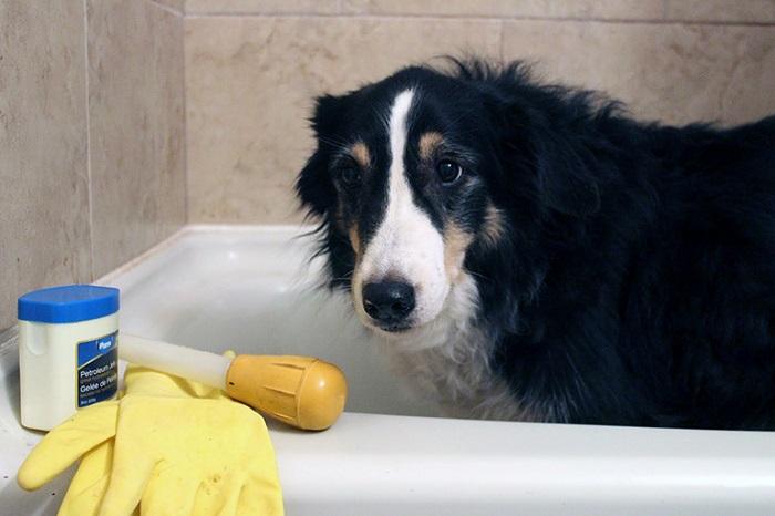 Что делать, если у собаки несварение от кукурузы?