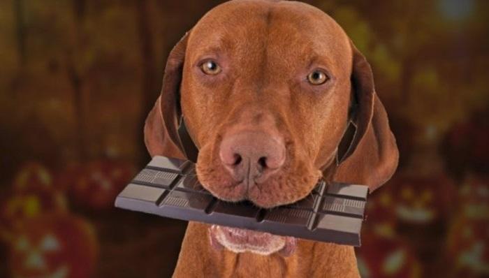 Летальная доза шоколада для собаки