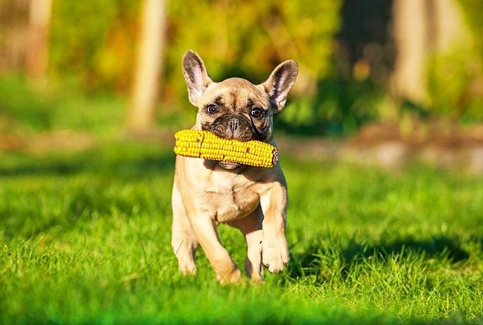 Можно ли давать собакам кукурузу