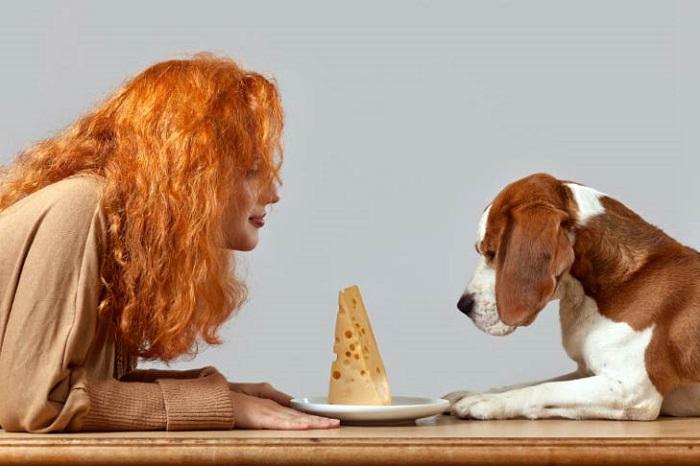 Можно ли давать собакам сыр?
