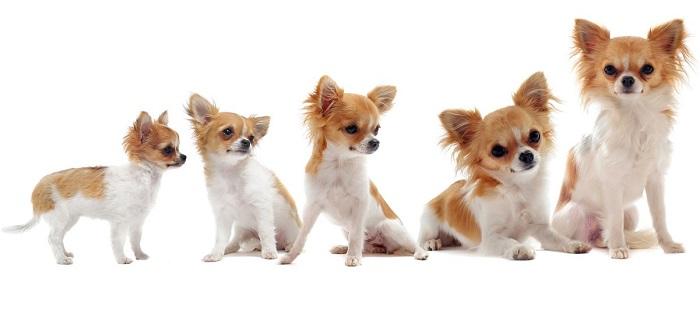 По каким этапам растут собаки?
