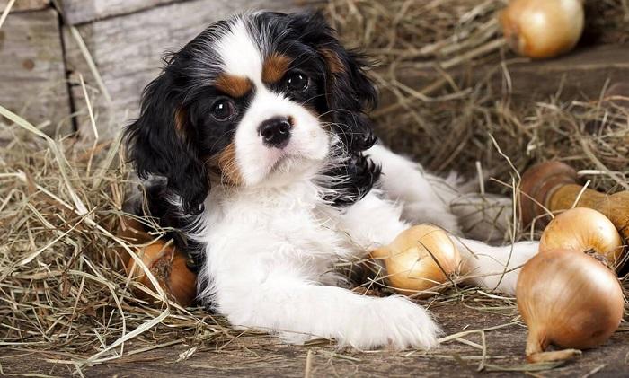 Можно ли давать лук собакам?