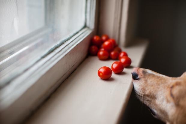 Можно ли давать собакам помидоры?