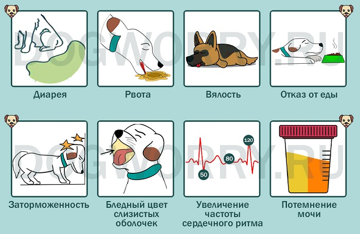 Симптомы отравления луком у собак