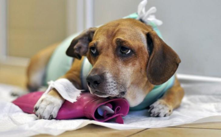 Методы лечения гистиоцитомы у собак