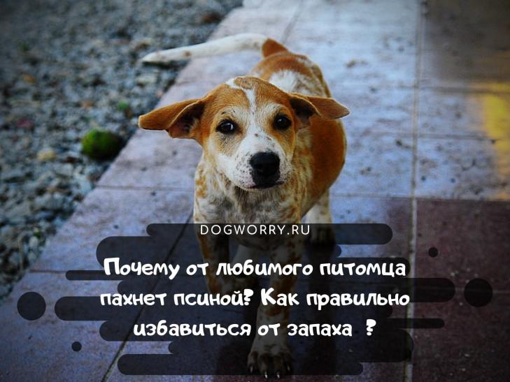 Уход за собакой, удаление запаха псины