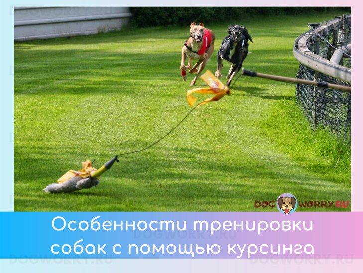Как правильно тренировать собаку курсингу