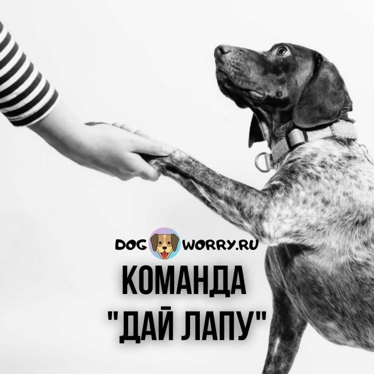 """Как научить собаку давать лапу (команде """"Дай лапу"""")?"""