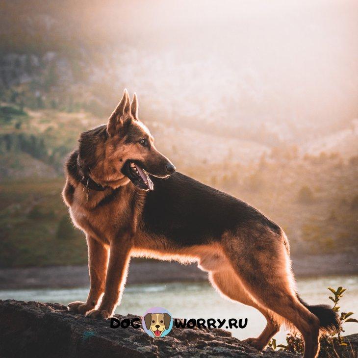 Правила ухода и содержания собаки породы немецкая овчарка